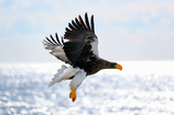 Seller's sea eagle