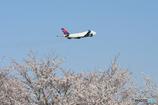 SAKURA&Delta Air Lines
