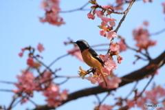 2度目の河津桜