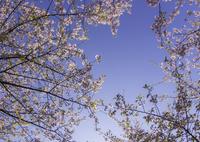 NIKON NIKON D7200で撮影した(「桜空」)の写真(画像)