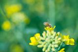 ミツバチとナノハナ