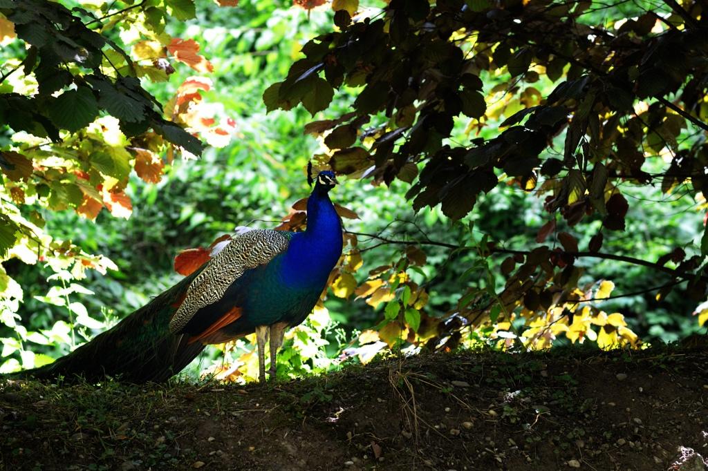 孔雀王の画像 p1_16