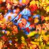陽光を浴びて輝く紅葉