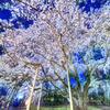 幻想の桜 Fantom 幽玄