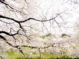 春の桜花 白の色彩