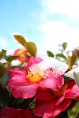 冬空に咲く