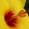黄色ハイビスカス