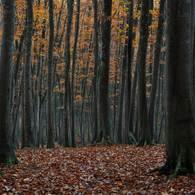 NIKON NIKON D7100で撮影した(黄落の美人林 (2))の写真(画像)