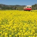 NIKON NIKON D7100で撮影した(菜の花畑を行く)の写真(画像)