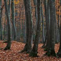 NIKON NIKON D7100で撮影した(黄落の美人林 (4))の写真(画像)