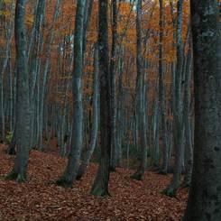 NIKON NIKON D7100で撮影した(黄落の美人林 (1))の写真(画像)