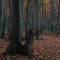 NIKON NIKON D7100で撮影した(黄落の美人林 (3))の写真(画像)