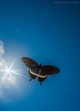天空のシロオビアゲハ