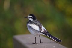 鳥撮り挑戦中(ハクセキレイ1)