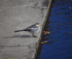 鳥撮り挑戦中(ハクセキレイ2)