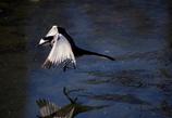 鳥撮り挑戦中(ハクセキレイ3)