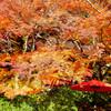 紅葉の定番④