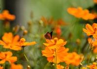 NIKON NIKON D7000で撮影した(ベニシジミ/花・草木+アルファー)の写真(画像)