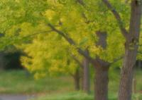 SONY SLT-A77Vで撮影した(萌える黄葉)の写真(画像)