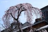 祇園の枝垂れ