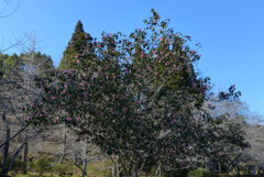 大きな椿の木