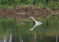 PANASONIC DMC-G7で撮影した(アオサギの水浴?)の写真(画像)