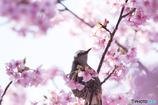 河津桜に来てみたら・・メジロじゃなかった('◇')ゞ