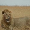 サファリのライオン