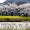 爽風の桜2