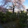 桜は綺麗だポン