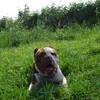 オランダの犬