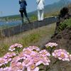 利尻と花と観光者