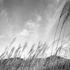 pampas grass #001