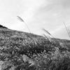 pampas grass #002