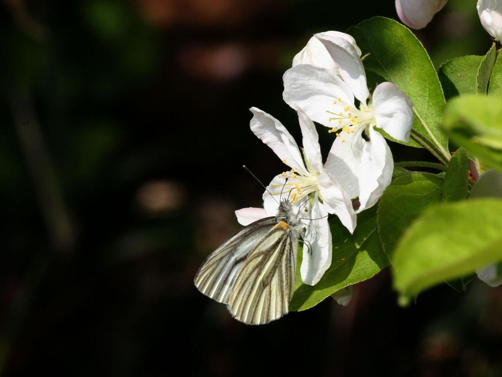 林檎の花と