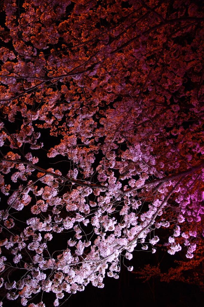 夜の桜たち