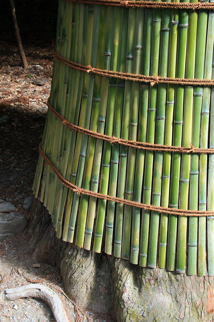 Defense of a bamboo