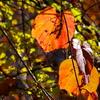 日光が透過する紅葉