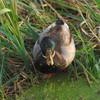 A Wild Duck 2