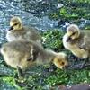 Three chicks on the seashore 海岸沿いの小鳥たち