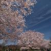 高遠コヒガン桜