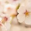 桜・・・見納め