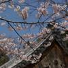 江戸彼岸桜 中院2010
