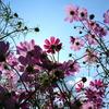 空と雲と秋桜と