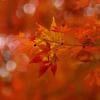 木漏れ日の紅葉四