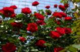 真っ赤な薔薇垣2