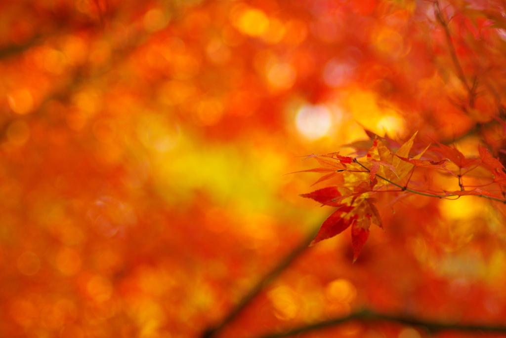 木漏れ日の紅葉二