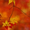 木漏れ日の紅葉一