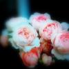 スポットライトに浮かぶ薔薇家族