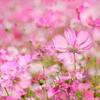 秋桜の夢1